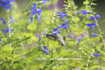 01162-14002 Ruby-throated Hummingbird (Archilochus colubris) at Salvia guaranitica Blue Ensign Marion Co. IL