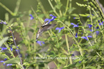01162-14005 Ruby-throated Hummingbird (Archilochus colubris) at Salvia guaranitica Blue Ensign Marion Co. IL
