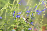 01162-14006 Ruby-throated Hummingbird (Archilochus colubris) at Salvia guaranitica Blue Ensign Marion Co. IL