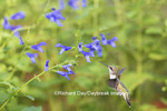 01162-14007 Ruby-throated Hummingbird (Archilochus colubris) at Salvia guaranitica Blue Ensign Marion Co. IL