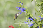 01162-14008 Ruby-throated Hummingbird (Archilochus colubris) at Salvia guaranitica Blue Ensign Marion Co. IL