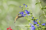 01162-14009 Ruby-throated Hummingbird (Archilochus colubris) at Salvia guaranitica Blue Ensign Marion Co. IL