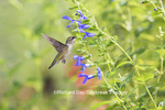 01162-14010 Ruby-throated Hummingbird (Archilochus colubris) at Salvia guaranitica Blue Ensign Marion Co. IL