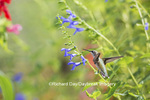 01162-14011 Ruby-throated Hummingbird (Archilochus colubris) at Salvia guaranitica Blue Ensign Marion Co. IL
