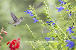 01162-14012 Ruby-throated Hummingbird (Archilochus colubris) at Salvia guaranitica Blue Ensign Marion Co. IL