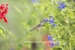 01162-14013 Ruby-throated Hummingbird (Archilochus colubris) at Salvia guaranitica Blue Ensign Marion Co. IL
