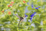 01162-14014 Ruby-throated Hummingbird (Archilochus colubris) at Salvia guaranitica Blue Ensign Marion Co. IL