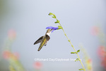 01162-14016 Ruby-throated Hummingbird (Archilochus colubris) at Salvia guaranitica Blue Ensign Marion Co. IL