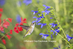 01162-14017 Ruby-throated Hummingbird (Archilochus colubris) at Salvia guaranitica Blue Ensign Marion Co. IL