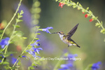 01162-14018 Ruby-throated Hummingbird (Archilochus colubris) at Salvia guaranitica Blue Ensign Marion Co. IL