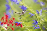 01162-14020 Ruby-throated Hummingbird (Archilochus colubris) at Salvia guaranitica Blue Ensign Marion Co. IL