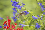 01162-14101 Ruby-throated Hummingbird (Archilochus colubris) at Salvia guaranitica Blue Ensign Marion Co. IL