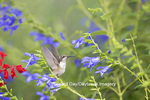 01162-14103 Ruby-throated Hummingbird (Archilochus colubris) at Salvia guaranitica Blue Ensign Marion Co. IL