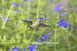 01162-14104 Ruby-throated Hummingbird (Archilochus colubris) at Salvia guaranitica Blue Ensign Marion Co. IL