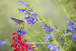 01162-14105 Ruby-throated Hummingbird (Archilochus colubris) at Salvia guaranitica Blue Ensign Marion Co. IL