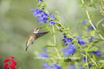 01162-14106 Ruby-throated Hummingbird (Archilochus colubris) at Salvia guaranitica Blue Ensign Marion Co. IL