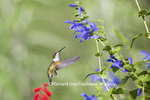 01162-14107 Ruby-throated Hummingbird (Archilochus colubris) at Salvia guaranitica Blue Ensign Marion Co. IL