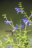 01162-14108 Ruby-throated Hummingbird (Archilochus colubris) at Salvia guaranitica Blue Ensign Marion Co. IL