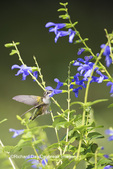 01162-14110 Ruby-throated Hummingbird (Archilochus colubris) at Salvia guaranitica Blue Ensign Marion Co. IL