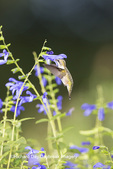 01162-14111 Ruby-throated Hummingbird (Archilochus colubris) at Salvia guaranitica Blue Ensign Marion Co. IL