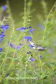 01162-14112 Ruby-throated Hummingbird (Archilochus colubris) at Salvia guaranitica Blue Ensign Marion Co. IL