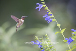 01162-14113 Ruby-throated Hummingbird (Archilochus colubris) male at Salvia guaranitica Blue Ensign Marion Co. IL