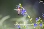 01162-14114 Ruby-throated Hummingbird (Archilochus colubris) male at Salvia guaranitica Blue Ensign Marion Co. IL