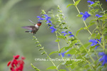 01162-14115 Ruby-throated Hummingbird (Archilochus colubris) male at Salvia guaranitica Blue Ensign Marion Co. IL