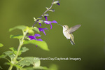 01162-14116 Ruby-throated Hummingbird (Archilochus colubris) at Salvia guarantica x gesneraeflora 'Purple Majesty' Marion Co IL