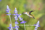 01162-14117 Ruby-throated Hummingbird (Archilochus colubris) at Salvia farinacea Blue Victoria Marion Co. IL