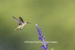 01162-14118 Ruby-throated Hummingbird (Archilochus colubris) at Salvia farinacea Blue Victoria Marion Co. IL