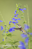 01162-14119 Ruby-throated Hummingbird (Archilochus colubris) at Salvia guaranitica Blue Ensign Marion Co. IL