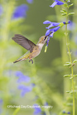 01162-14120 Ruby-throated Hummingbird (Archilochus colubris) at Salvia guaranitica Blue Ensign Marion Co. IL