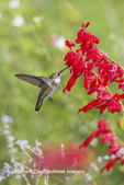 01162-14201 Ruby-throated Hummingbird (Archilochus colubris) at Salvia splendens Faye Chappell Marion Co. IL