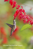 01162-14202 Ruby-throated Hummingbird (Archilochus colubris) at Salvia splendens Faye Chappell Marion Co. IL