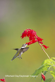 01162-14203 Ruby-throated Hummingbird (Archilochus colubris) at Salvia splendens Faye Chappell Marion Co. IL