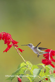 01162-14204 Ruby-throated Hummingbird (Archilochus colubris) at Salvia splendens Faye Chappell Marion Co. IL