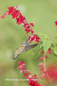 01162-14206 Ruby-throated Hummingbird (Archilochus colubris) at Salvia splendens Faye Chappell Marion Co. IL