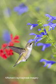 01162-14208 Ruby-throated Hummingbird (Archilochus colubris) at Salvia guaranitica Blue Ensign Marion Co. IL