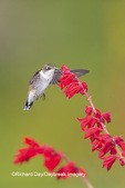 01162-14207 Ruby-throated Hummingbird (Archilochus colubris) at Salvia splendens Faye Chappell Marion Co. IL