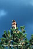 00800-001.05 Swainson's hawk (Buteo swainsoni) Yellowstone NP   WY