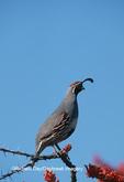 00847-001.09 Gambel's Quail (Callipepla gambelii)  male in Ocotillo, Organ Pipe NM   AZ