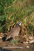 00849-013.01 Northern Bobwhite (Colinus virginianus) male  Starr Co. TX