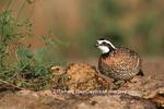 00849-015.01 Northern Bobwhite (Colinus virginianus) female & male Starr Co. TX
