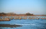 00882-017.10 Sandhill Cranes (Grus canadensis) in Platte River near Kearney   NE