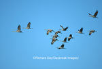 00882-018.18 Sandhill Cranes (Grus canadensis) in flight near Kearney   NE