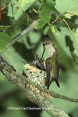 01162-00418 Ruby-throated Hummingbird (Archilochus colubris) female feeding nestlings Marion Co. IL