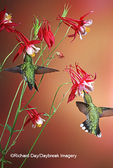 01162-07104 Ruby-throated Hummingbirds (Archilochus colubris) Male & female on Crimson Star Columbine (Aquilegia x hybrida) Shelby Co. IL
