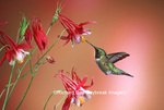 01162-07120 Ruby-throated Hummingbird (Archilochus colubris) male on Crimson Star Columbine (Aquilegia x hybrida) IL