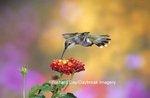 01162-079.13 Ruby-throated Hummingbird (Archilochus colubris) female at Dallas Red Lantana (Lantana camara) Shelby Co. IL